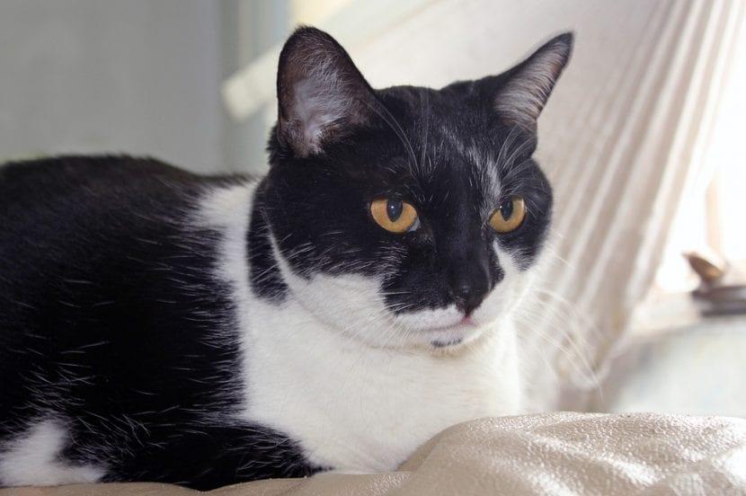 Un gato adulto con el pelo blanco y negro