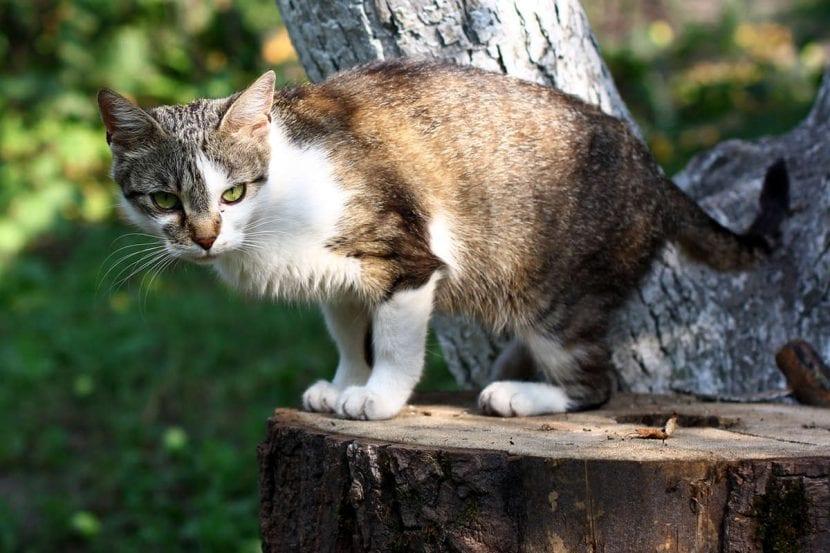 Gato joven bicolor callejero