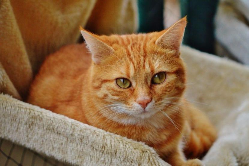 Gato Tabby de color naranja