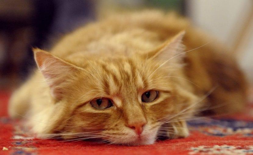 Un gato aburrido puede sentirse muy mal. Mantenlo entretenido