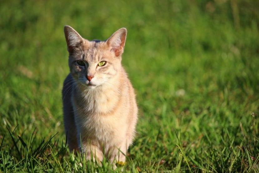Gato naranja en el campo
