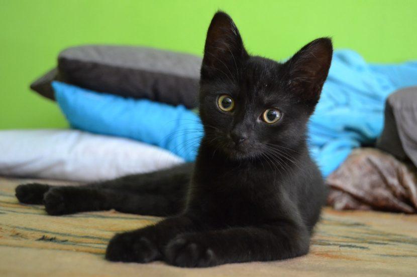El gato negro común y el Bombay se parecen mucho