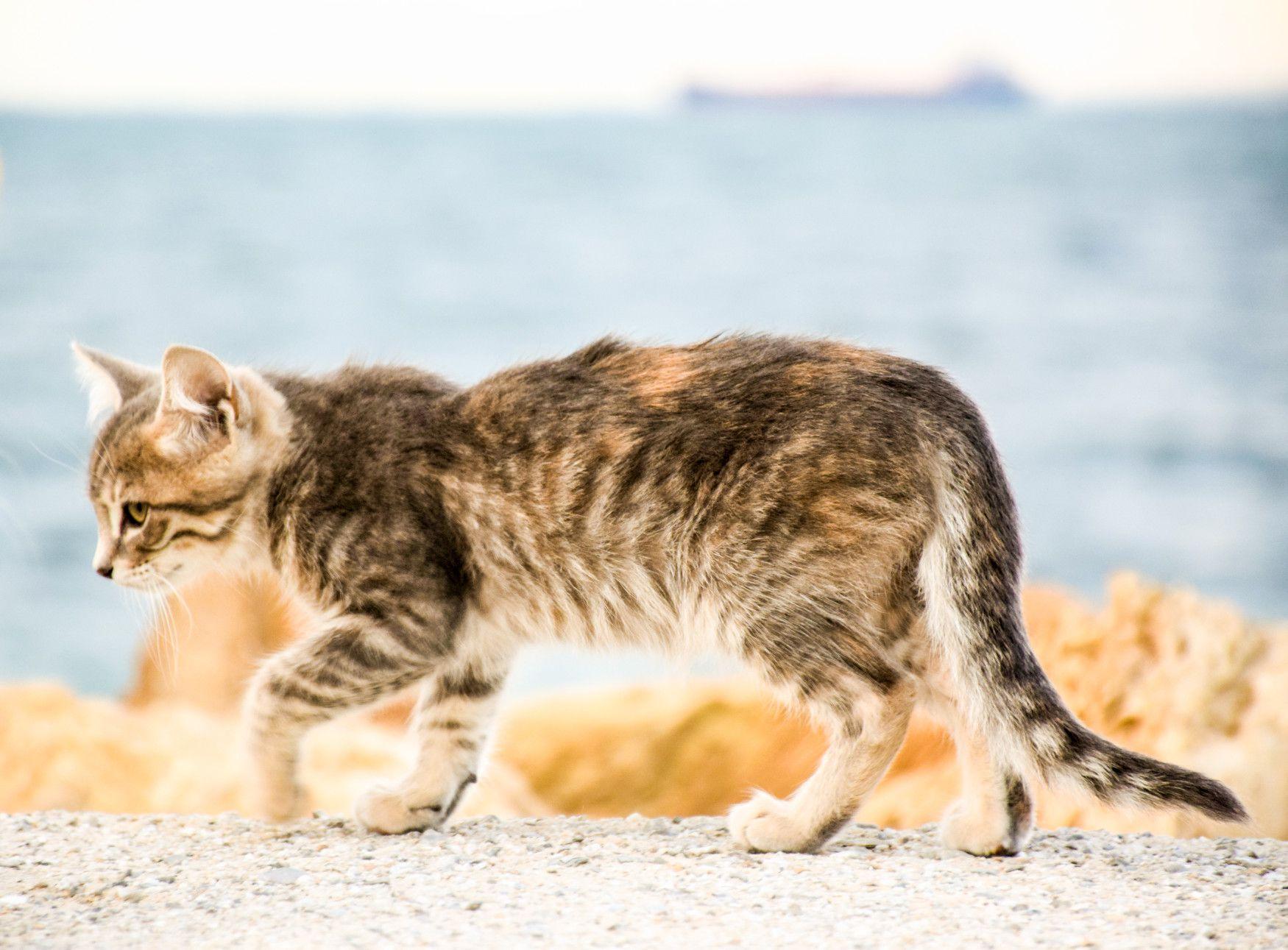Los gatos caminan de forma elegante