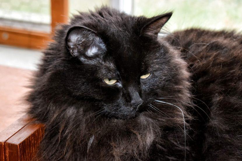 El gato Maine Coon es grande, y puede tener el pelo de color negro