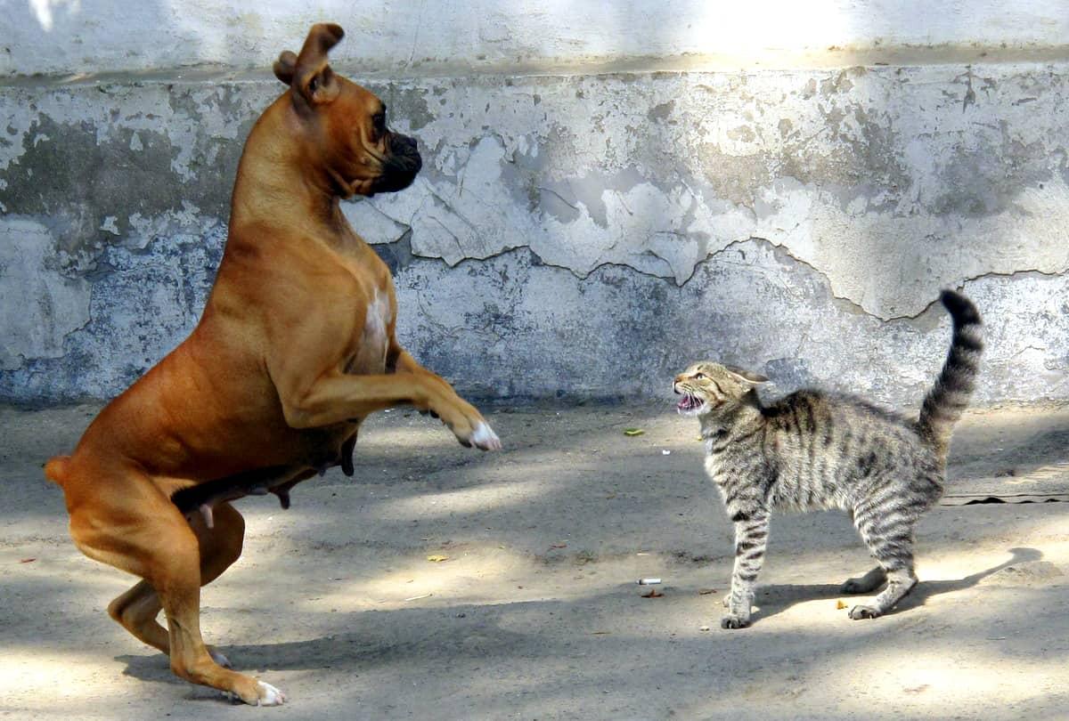 Los perros pueden causar graves heridas a los gatos