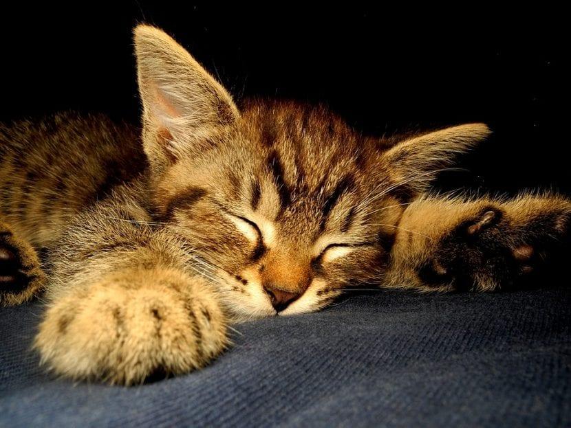 Gatito atigrado durmiendo