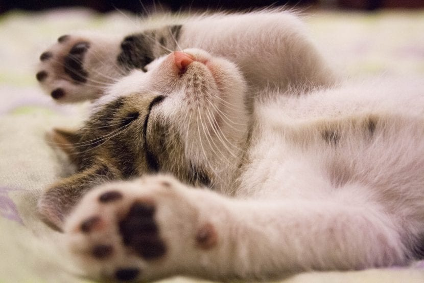 Los gatitos pueden pasarse muchas horas durmiendo