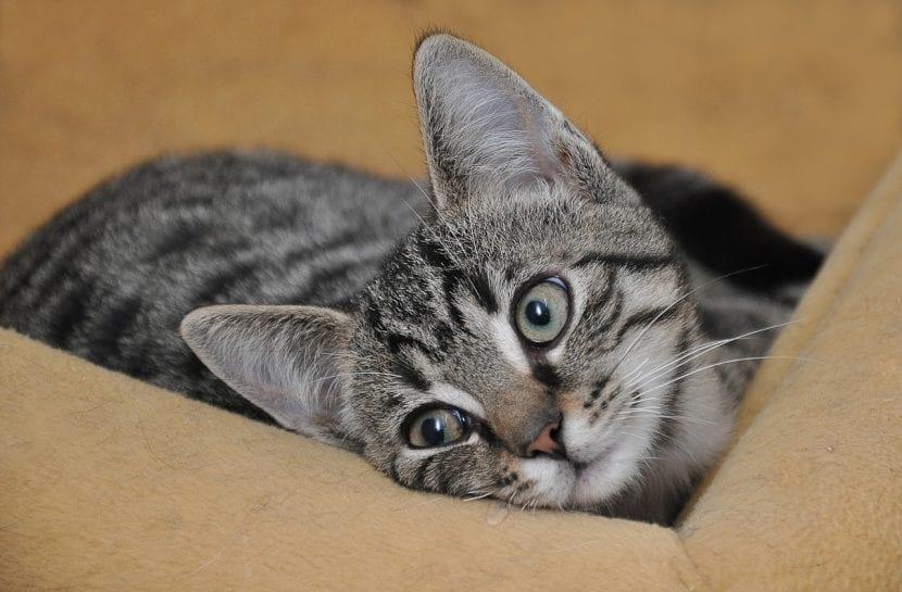 Si tu gato joven pierde peso, llévalo al veterinario