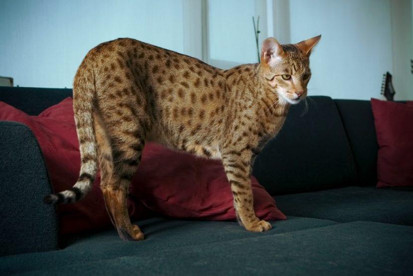 Ejemplar de gato ashera adulto