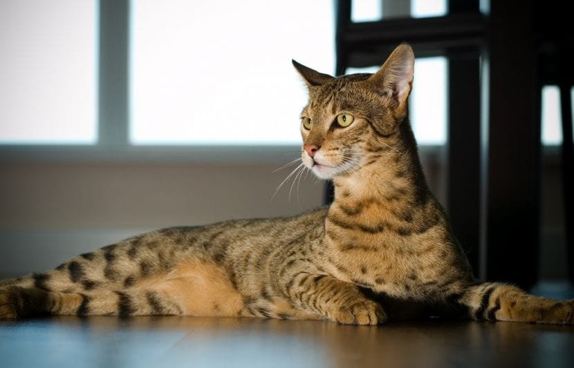 Cuida a tu gato ashera para que sea feliz