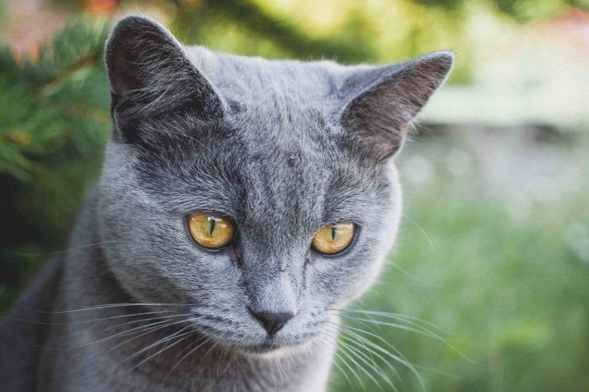 Gato azul ruso adulto