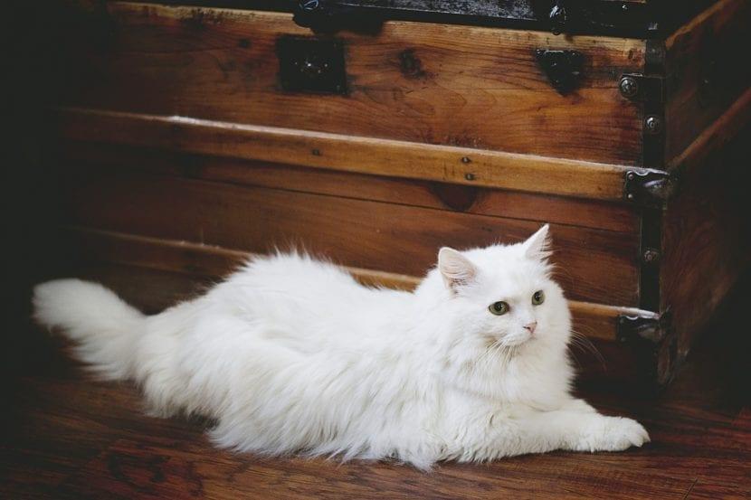 Un ejemplar de gato blanco muy sano