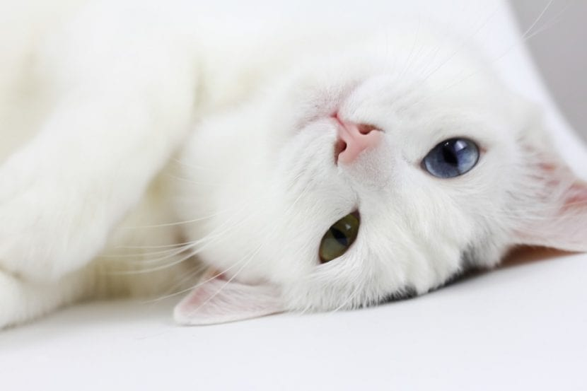¿Qué Significa Tener Un Gato Blanco En Casa?