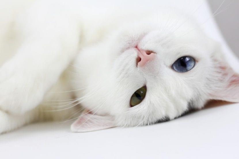 Un precioso gato adulto de pelo blanco