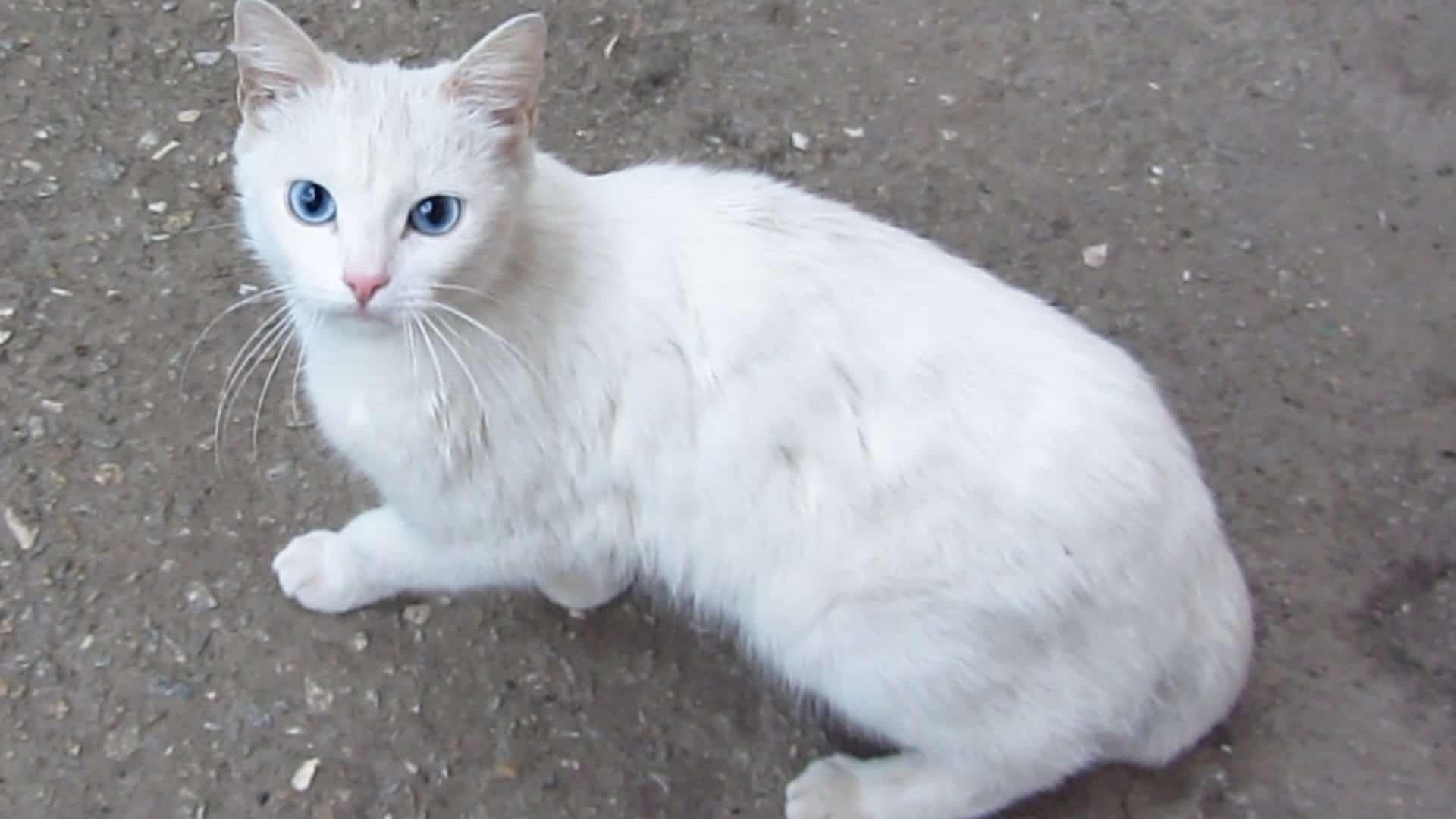 El gato blanco tiene mucho simbolismo