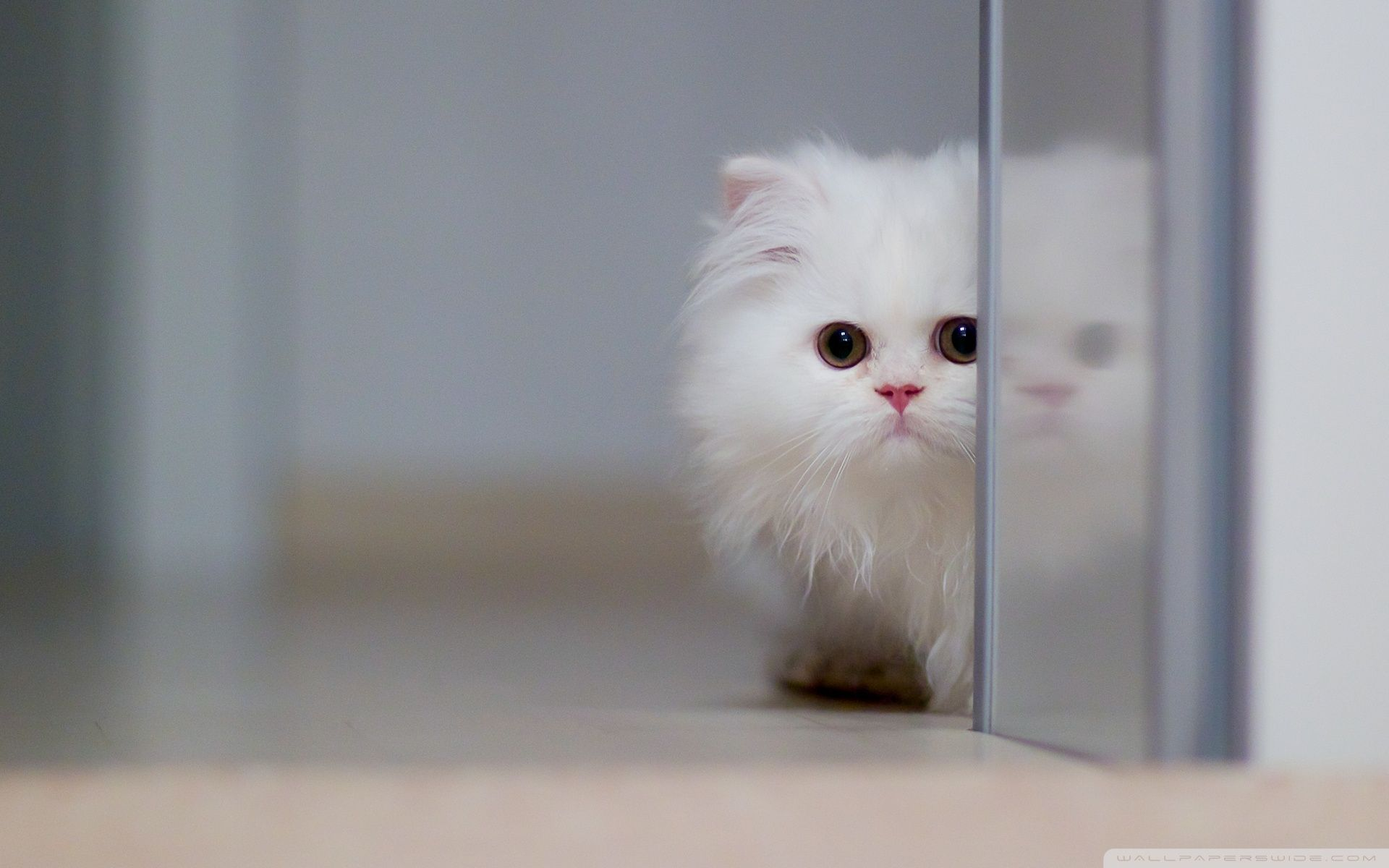 El gato blanco puede ser sociable