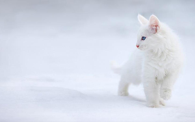 El gato blanco puede ser sordo