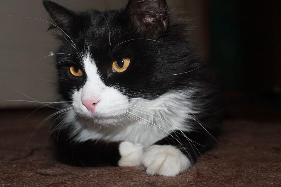Gato blanco y negro en un apartamento