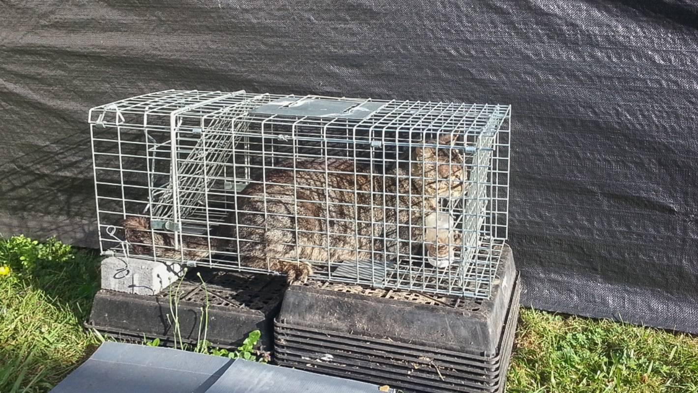 Las jaulas trampa para gatos son inofensivas