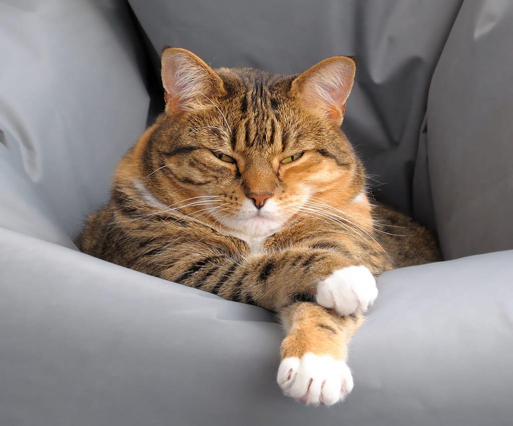 Las huellas dactilares de un gato no se encuentran en las patas