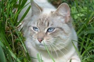 Castra a tu gato antes de que tenga el primer celo para evitar problemas