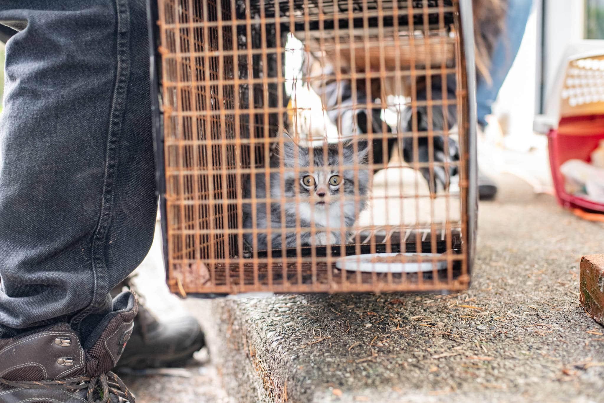 Los gatos en jaulas trampa se suele poner nerviosos