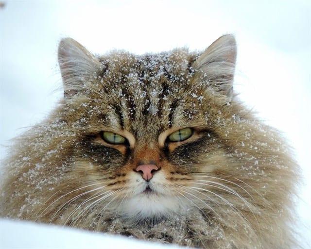 Gato en la granja de Siberia