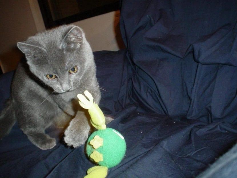 Gato gris jugando en casa