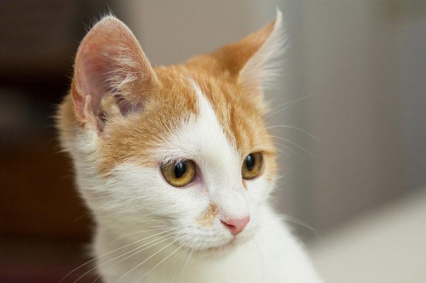 El gato necesita cuidados para evitar la pérdida de peso