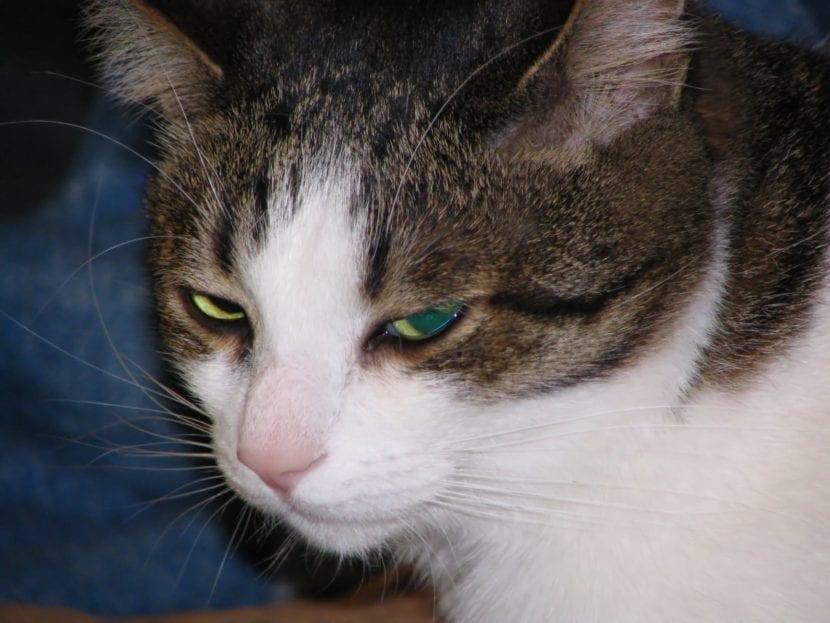 La depresión en gatos es común