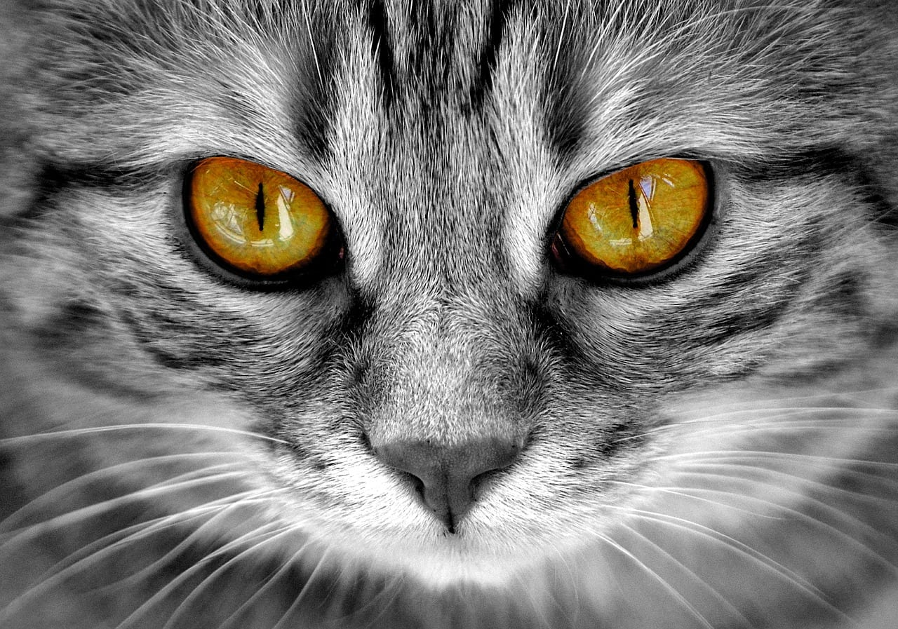El melanoma es una enfermedad que afecta a los ojos de los gatos