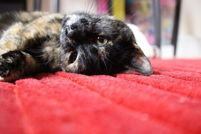 Descubre por qué tu gato te roba la ropa