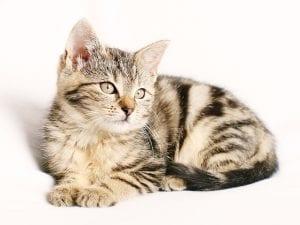 Gatito joven mirando fijamente