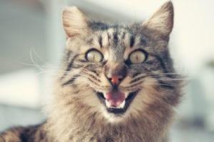 Un gato con ansiedad puede maullar más de lo habitual