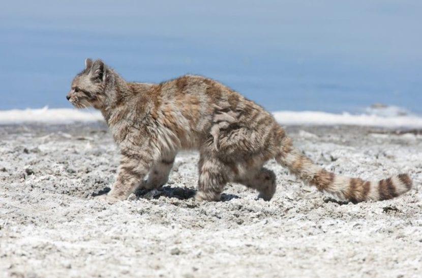 Ejemplar de gato andino adulto
