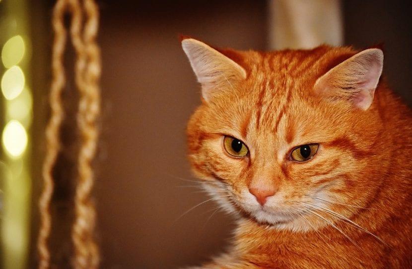 Gato atigrado naranja