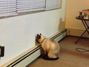 Gato con la cabeza contra la pared