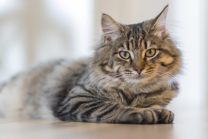 Un gato es un animal mamífero