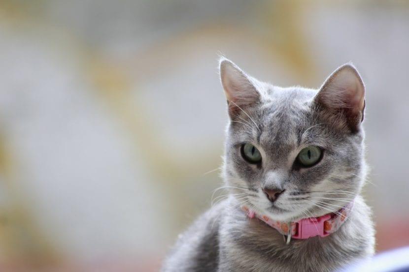 Gato con collar
