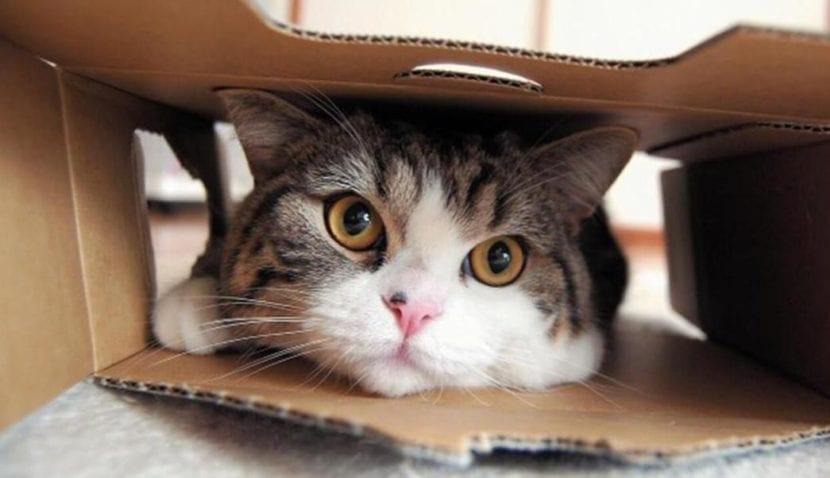 Gato Maru dentro de una caja de cartón