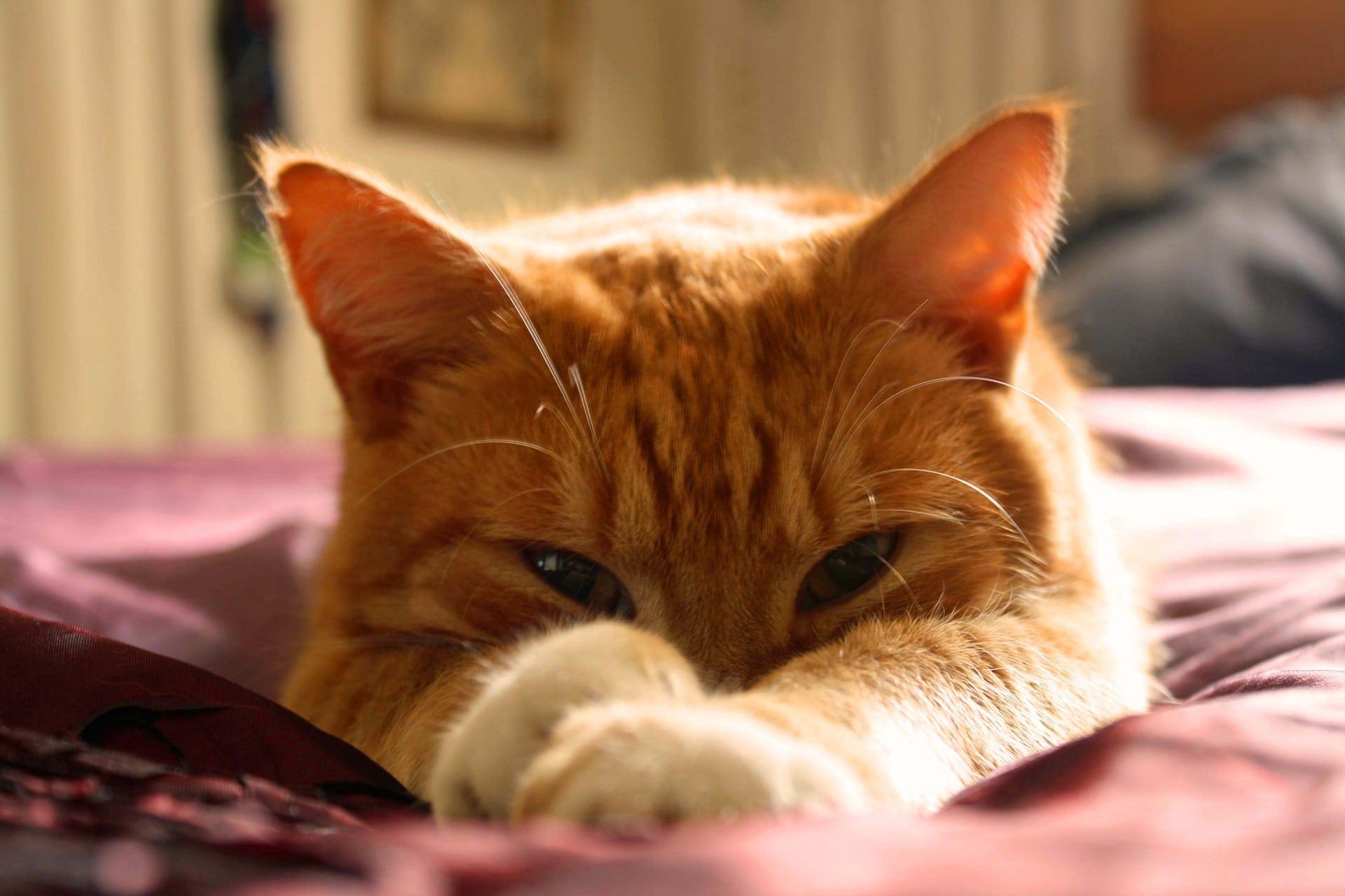 Tu veterinario sedará al gato cuando lo opere