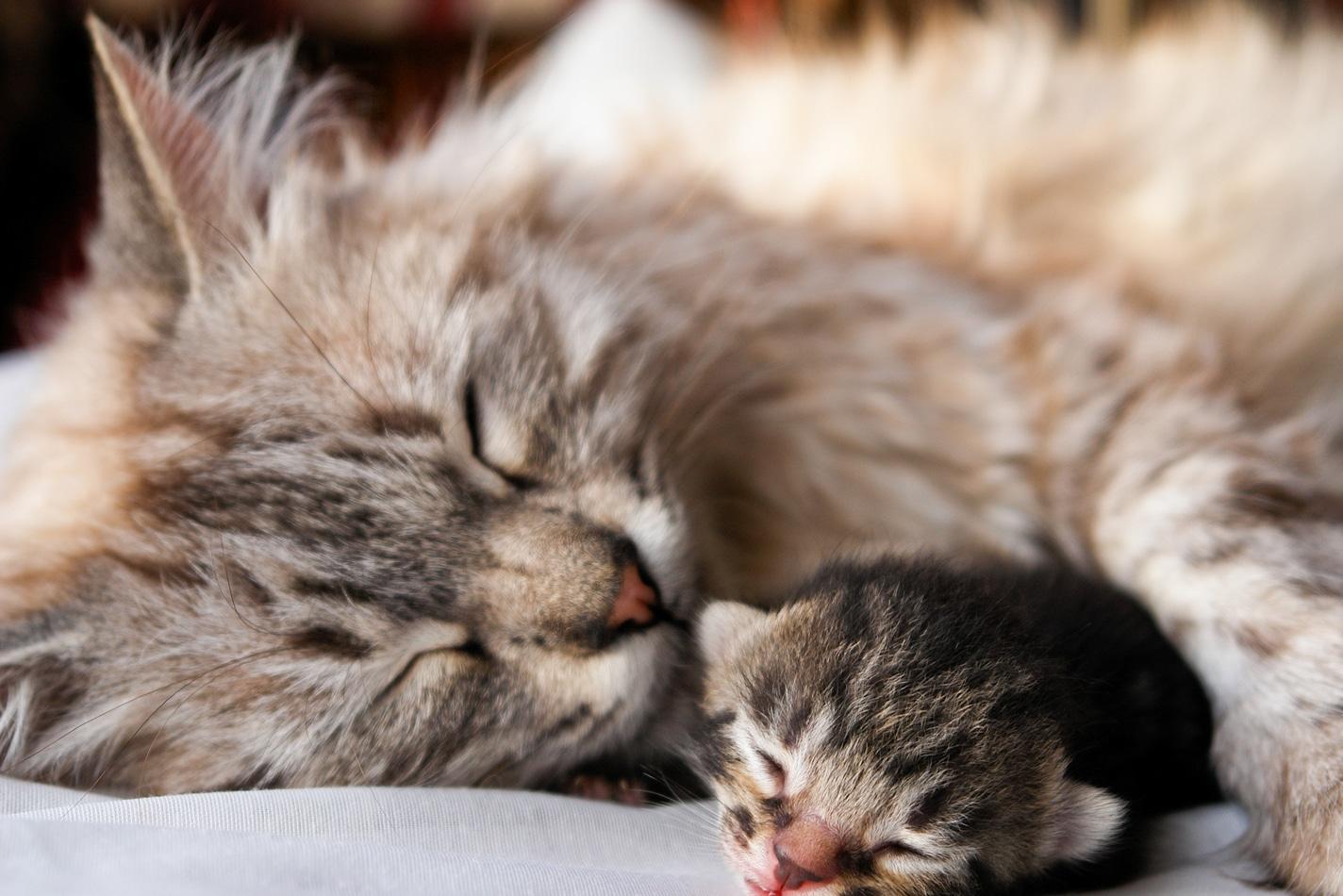 La mamá gata es muy buena con sus crías