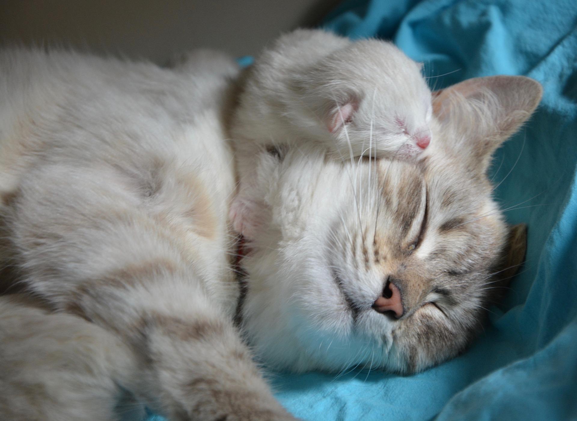 Las gatas pueden tener hasta doce gatitos