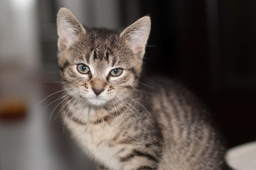 Por el bien de tu gato, no le expongas al contacto con un gato enfermo