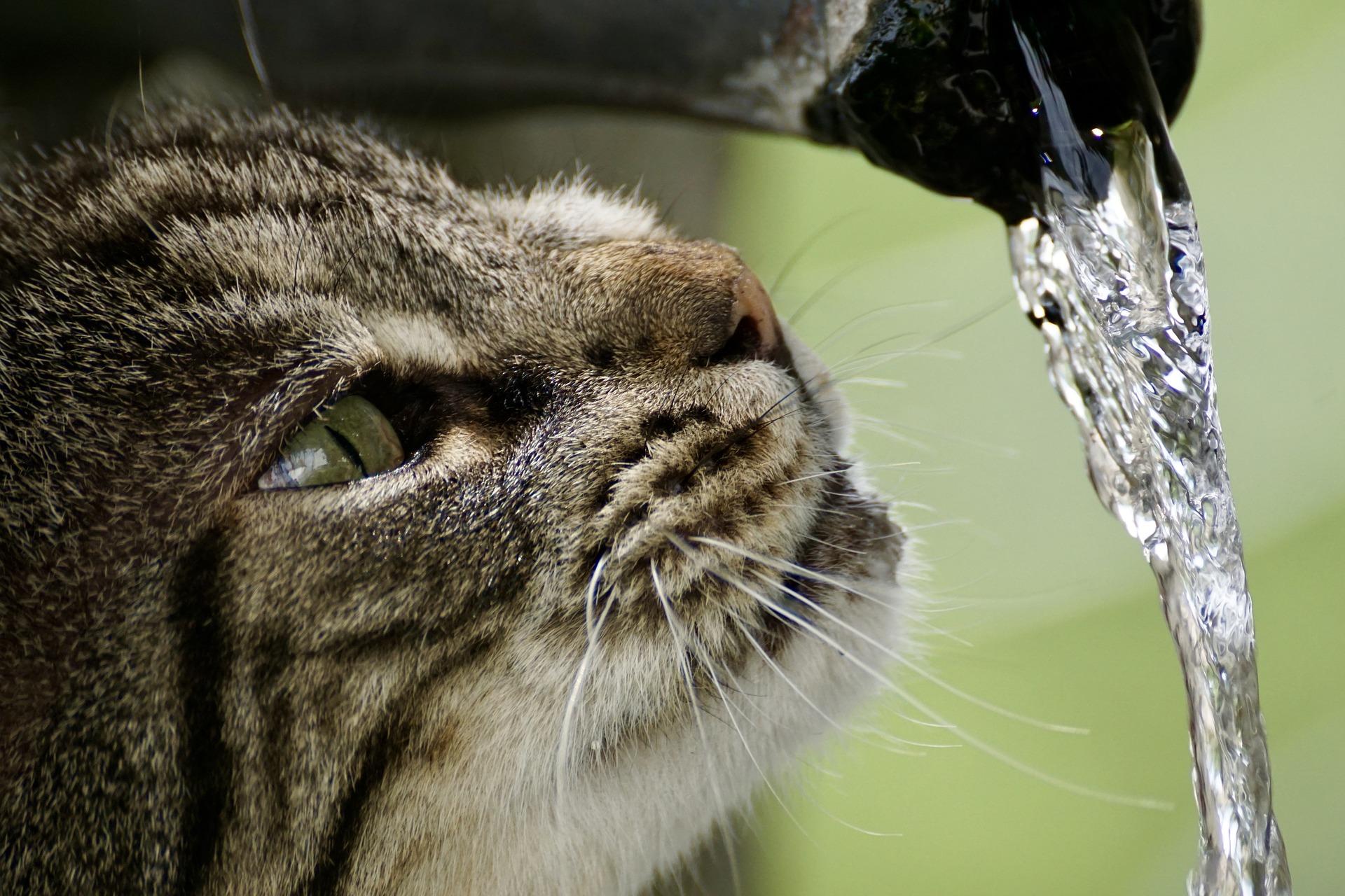Los gatos prefieren beber agua de un grifo o fuente