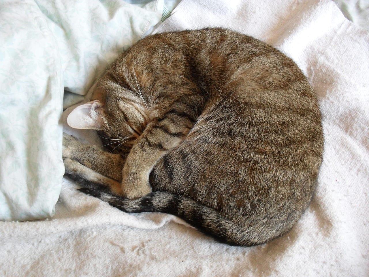 Gato durmiendo con la cara tapada
