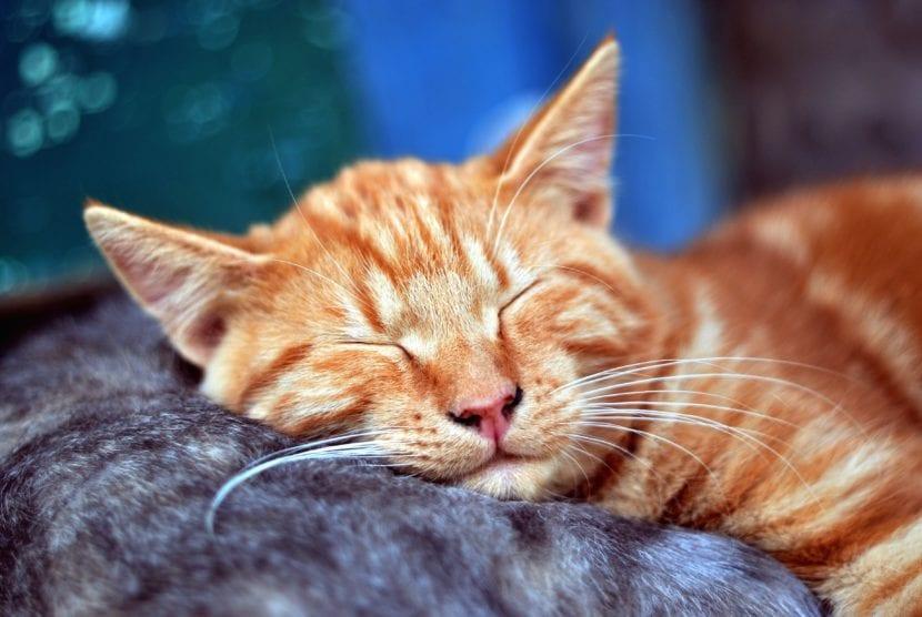 El gato es un animal que duerme mucho