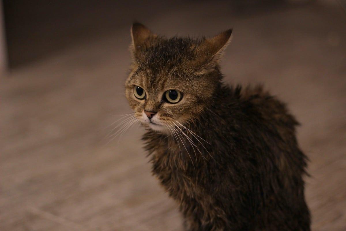 Los gatos a veces se han de bañar