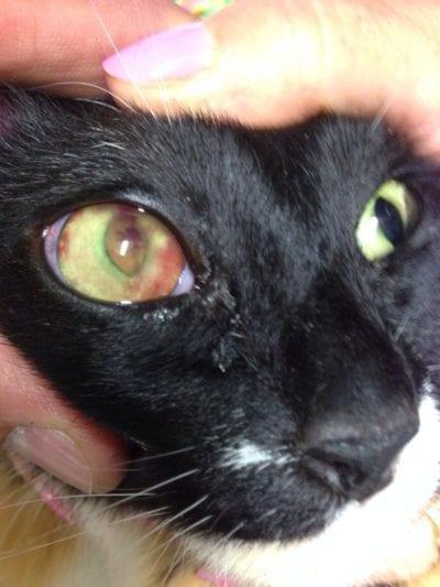 Un gato enfermo de uveítis