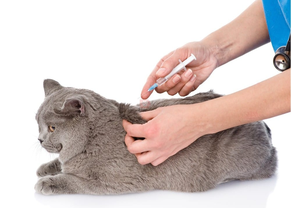 Vacunando a un gato